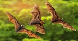 ভারতে বাদুড়ের শরীরে মিললো নতুন করোনা ভাইরাস (বিটি-কোভ)