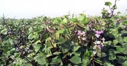 বাঁশখালীতে শিমের বাম্পার ফলন! চড়া দাম পেয়ে খুশিতে কৃষক