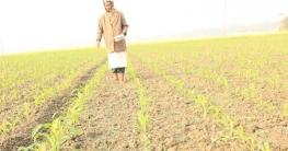 কালিহাতীর কৃষকরা ভুট্টা চাষে মুনাফার আশা করছেন