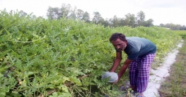 টাঙ্গাইলের মাটিতে ফলন হচ্ছে বারোমাসি বিদেশি তরমুজ