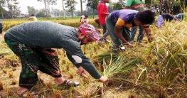 কৃষকের পাকা ধান কেটে দিলো দেলদুয়ার ছাত্রলীগ
