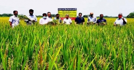 করোনাকালে বোরোর বাম্পার ফলন