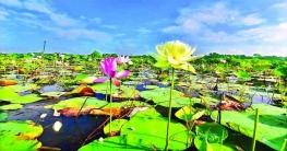 বিশ্বের নতুন হলুদ পদ্ম পাওয়া গেলো বাংলাদেশে