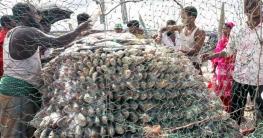 বিশ্বের ৮৬ ভাগ ইলিশ মাছই বাংলাদেশে