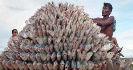 দেশে ইলিশ উৎপাদন বৃদ্বিতে একনেকে উঠছে ২৪৬ কোটির প্রকল্প