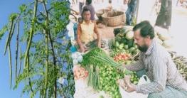 সখীপুরে সজিনা ডাটা'র বাম্পার ফলন