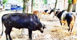 ভূঞাপুরে চারটি ষাড় গরু উদ্ধার করল পুলিশ