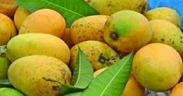 বিষমুক্ত হচ্ছে চাঁপাইনবাবগঞ্জ ও রাজশাহীর ১১ কোটি আম
