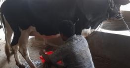 সখীপুরে ৮ মাসের প্রথম গর্ভবতী বকনা দুধ দিচ্ছে দিনে ৬ লিটার