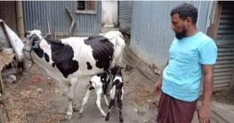 নাগরপুরে গাভীর জোড়া বাচ্চা জন্মের বিরল ঘটনা