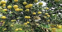 লেবু ও মাল্টা চাষে সফল সখীপুরের মোসলেম উদ্দিন
