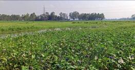 ভেদুরিয়া বিলে জলাবদ্ধতা, বছরে ৪০ লাখ টাকার ফসল থেকে বঞ্চিত কৃষক