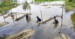 টাঙ্গাইলে পাটের বাম্পার ফলন ও ভালো দামে কৃষকের মুখে হাসি
