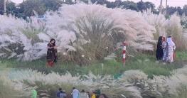 বাসাইলের কাশফুলে বিমোহিত দর্শনার্থীরা
